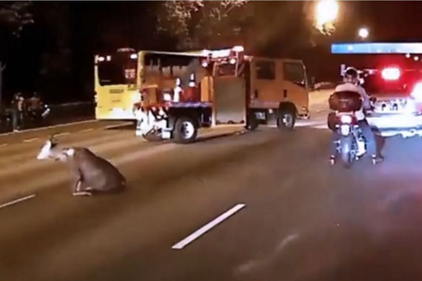 The wild sambar deer struggled to get on its feet following the accident on Bukit Timah Expressway, on June 17, 2018.