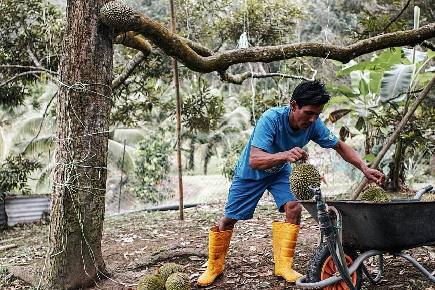 A worker in the Raub Durian Orchard in Raub, Pahang, putting Musang King durians into a wheelbarrow. A Malaysian official said fresh Musang King currently cannot be exported to China as a whole fruit but is allowed in pulp, frozen and chilled form.