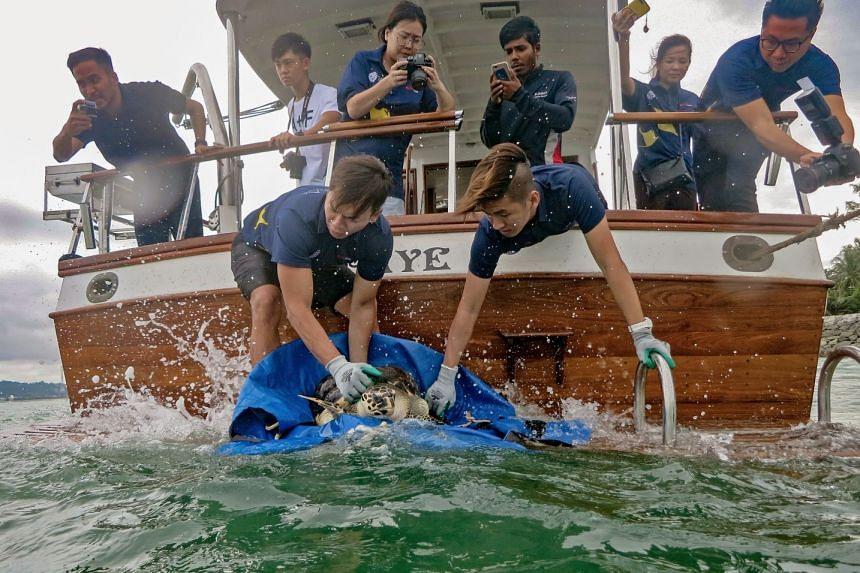 Aquarists prepare Hawke the hawksbill turtle for release.