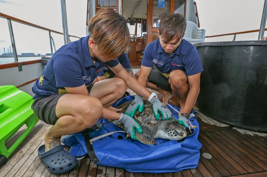 Aquarists prepare Louie the green sea turtle for release.