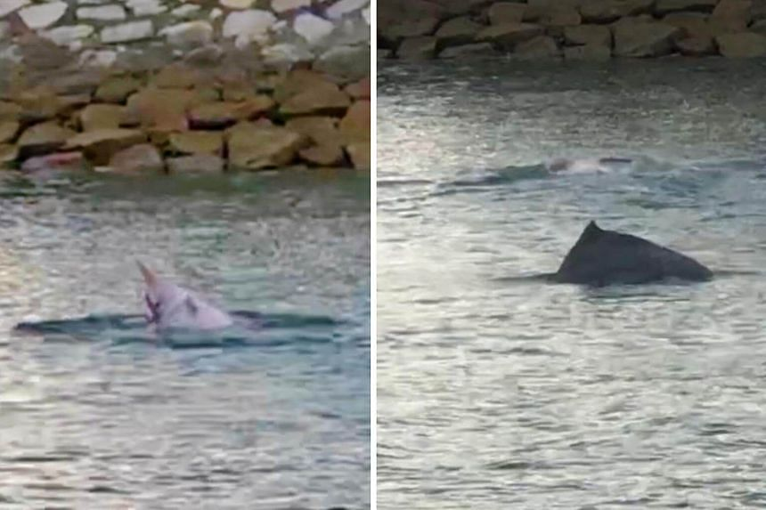 Mr Quek Wei Teck and his friends spotted a pod of at least six dolphins off Pulau Semakau on June 16, 2018.