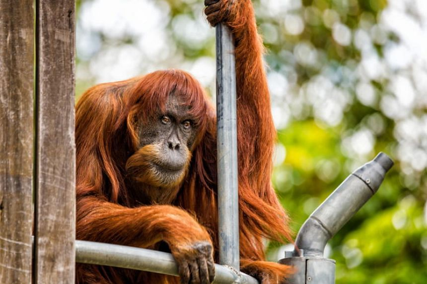 Puan, who has lived at Perth Zoo since 1968, died at the age of 62.