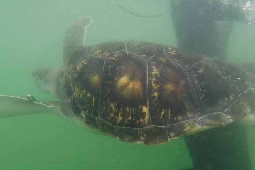 Louie the green sea turtle swims in the sea moments after he was released.