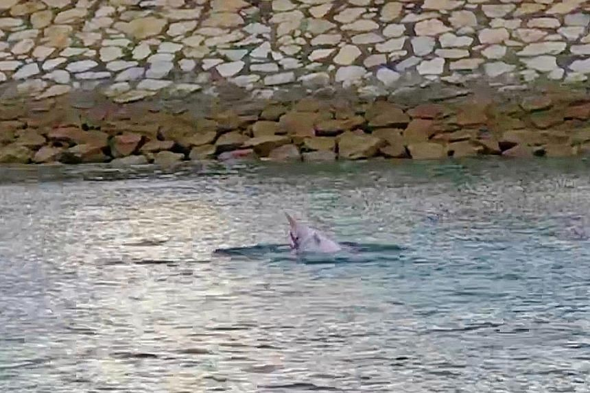 """A group of fishing enthusiasts had an unexpected thrill off Pulau Semakau last Saturday when a pod of at least six dolphins, one of which appeared """"a bit pinkish in colour"""", made an appearance. It was the first time the group had seen dolphins in tha"""
