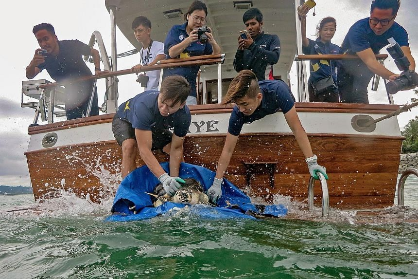 Aquarists preparing hawksbill turtle Hawke (above) - one of two rescued sea turtles under the care of the S.E.A. Aquarium for over two years - for release in the waters of Sisters' Islands Marine Park yesterday. Green sea turtle Louie (left) was retu