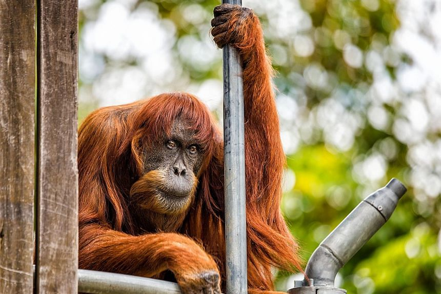 Puan, the matriarch of Perth Zoo's Sumatran orang utan colony, seen in her enclosure in October 2016. She had 11 children and 54 descendants and her genetics count for just under 10 per cent of the global zoological population.