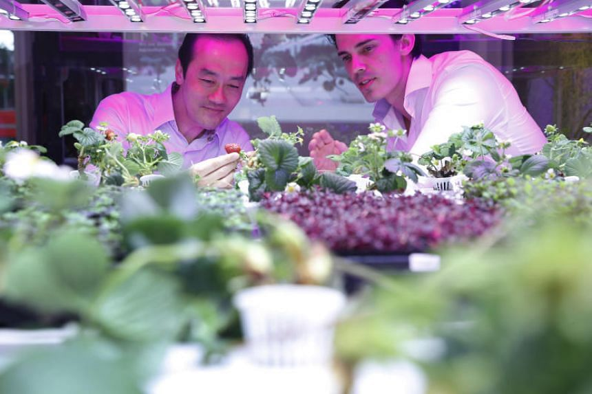 Senior Minister of State for Trade and Industry Koh Poh Koon (left) being briefed by Sustenir Agriculture co-founder Benjamin Swan on the Controlled Environment Agriculture farming method during the launch of Singapore's first locally grown strawberr
