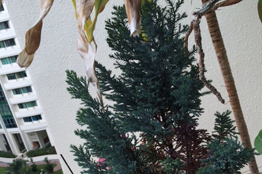The plant is commonly known as the Port Orford cedar or Lawson cypress. Its botanical name is Chamaecyparis lawsoniana.