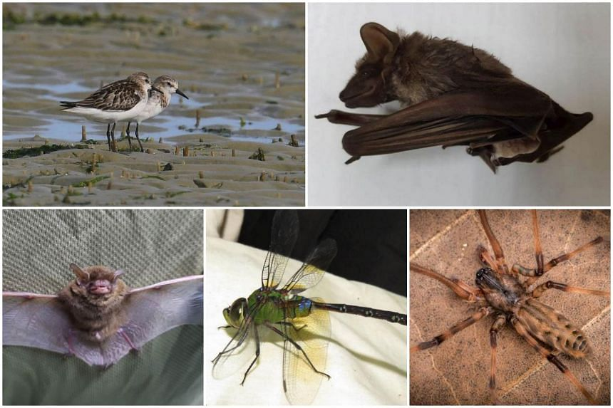 The five new species recorded on Pulau Ubin: (Clockwise, from top left) Little stint shorebird, long-winged tomb bat, raccoon pseudo-orb weaver spider, arrow emperor dragonfly and big-eared pipistrelle bat.