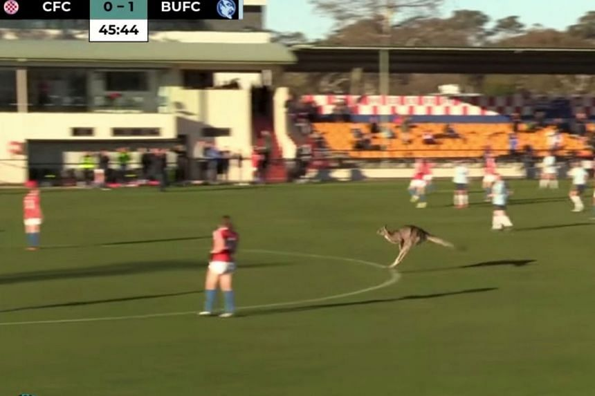 A kangaroo invading the pitch during a women's soccer match between Canberra FC and Belconnen United in Canberra on June 24, 2018, in this still image taken from video obtained from social media.