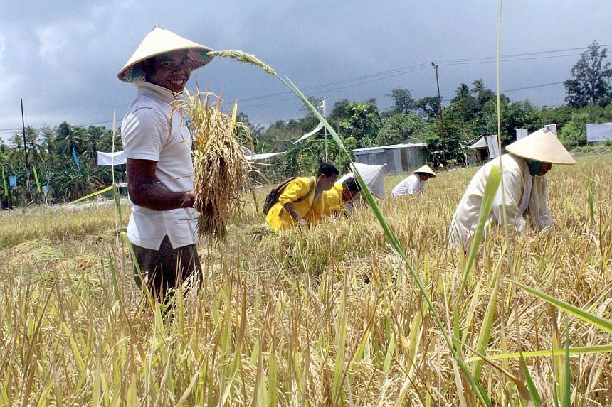Farmers harvesting rice in Tarus village, Kupang, East Nusa Tenggara province. Many residents in the province - Indonesia's third-poorest - hope a new government will alleviate poverty and spur economic growth in the territory.