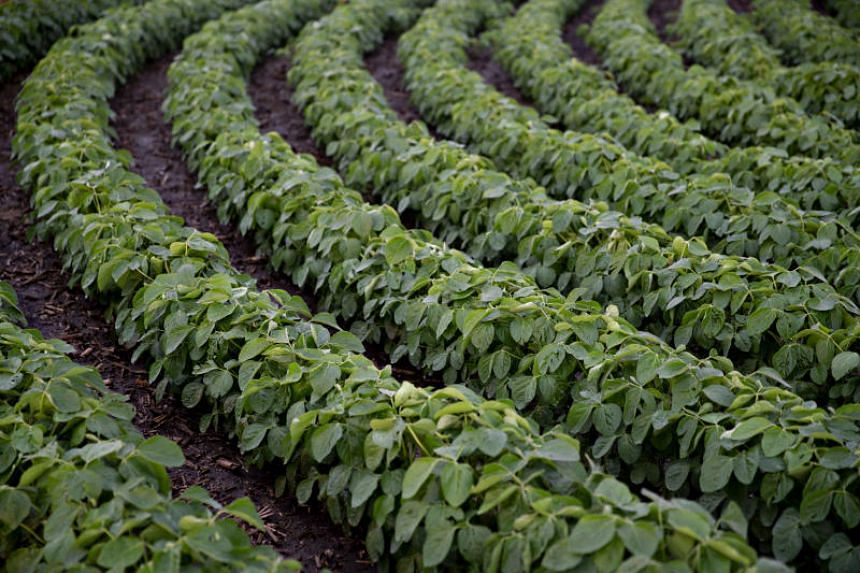 Soybean plants growing in a field in Illinois, US. China's Ministry of Finance will drop tariffs on soybeans, soybean cake and fishmeal from five Asian neighbours, from July 1, 2018.