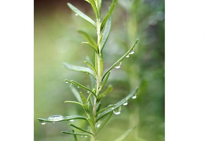 Rosemary cuts through the greasiness of roast meats to give a fresh, aromatic flavour.