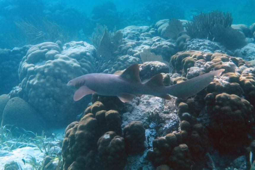 A nurse shark is seen at the Hol Chan Marine Reserve coral reef in the outskirts of San Pedro village, in Ambergris Cay, Belize, on June 7, 2018.