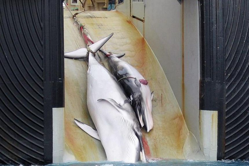 A file photo of a mother whale and her calf being dragged on board a Japanese ship after being harpooned in Antarctic waters in 2008.