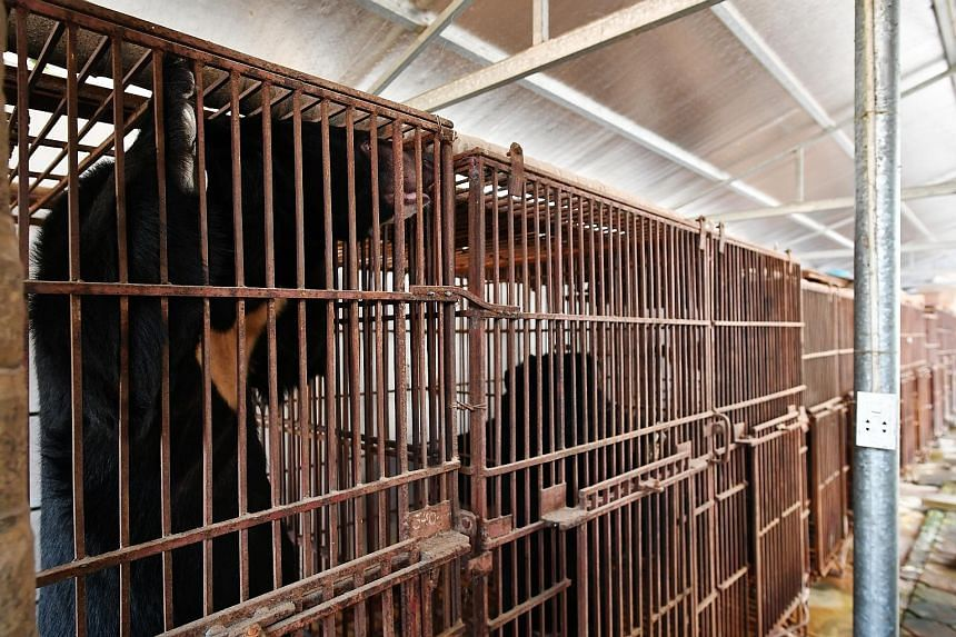 Bears caged in the compound of a large home in Phung Thuong, an hour north of Hanoi. Rescued moon bears in a sanctuary in Tam Dao National Park, where the bears are given a good diet, and have space to roam and interact with others.