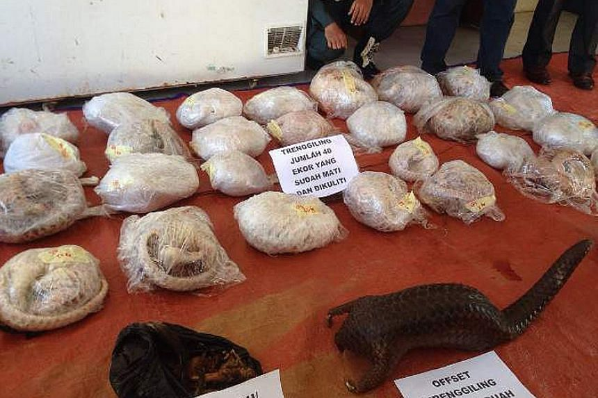 Pangolin scales are sought after in the illegal wildlife trade, for traditional medicine. Pangolins and pangolin meat seized on Oct 26, 2016, in Pontianak, West Kalimantan, in Indonesia. The seizure contained 40 skinless pangolins, one live pangolin