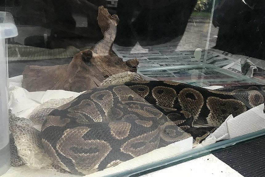 A blue-tongued skink (top) seized by AVA in May. Acting on a tip-off, inspectors also rescued a ball python in a tank (above and right) from a HDB flat on Friday.