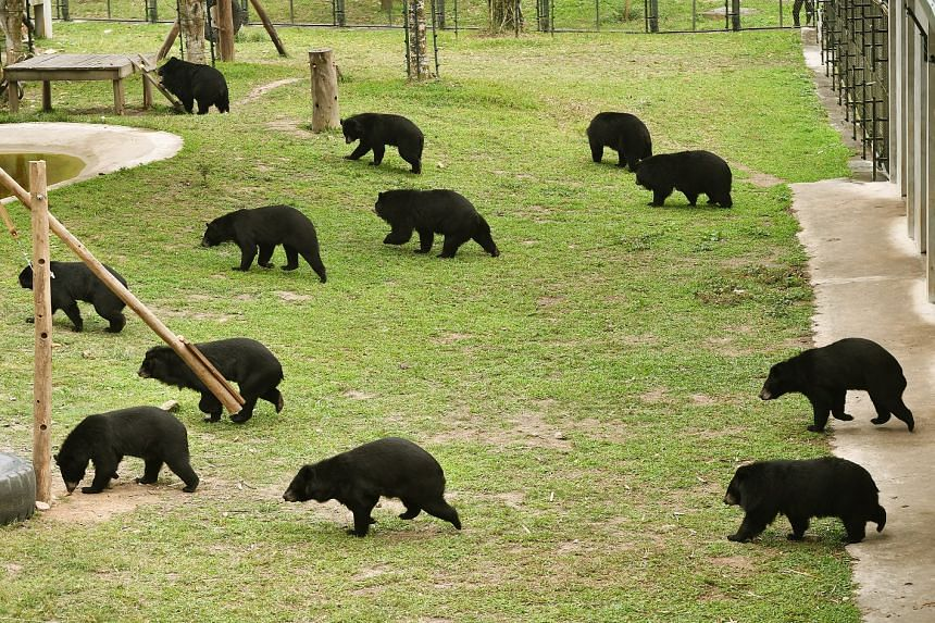 Rescued moon bears in a sanctuary in Tam Dao National Park, where the bears are given a good diet, and have space to roam and interact with others.