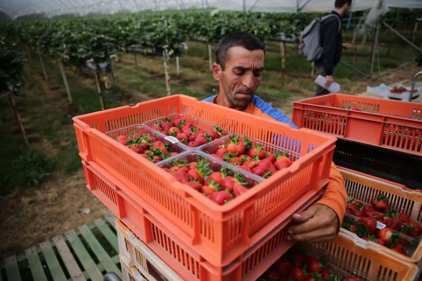 A seasonal worker from Romania moving boxes of strawberries at a farm in Faversham, England, on June 29, 2018.