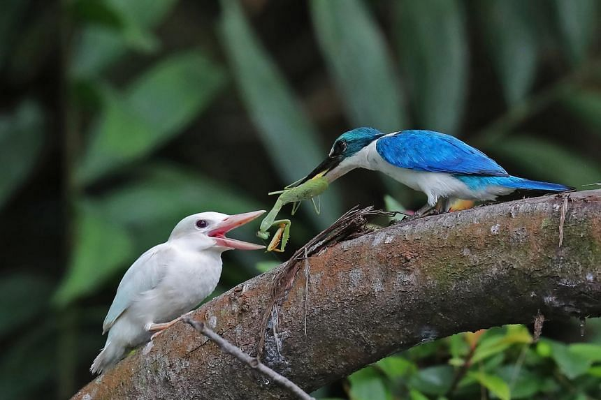 The albino kingfisher chick receives a praying mantis as a meal during a feeding session by its parent.