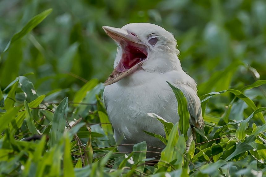 The albino kingfisher chick has drown flocks of photographers to East Coast Park. It is expected to stay with its parents for a few more weeks before flying off to build its own nest.