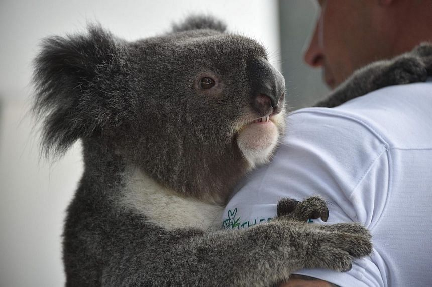 Chad Staples, from the Featherdale Wildlife Sanctuary, holds a four-year-old koala named Archer at a media event in Sydney, on July 3, 2018.