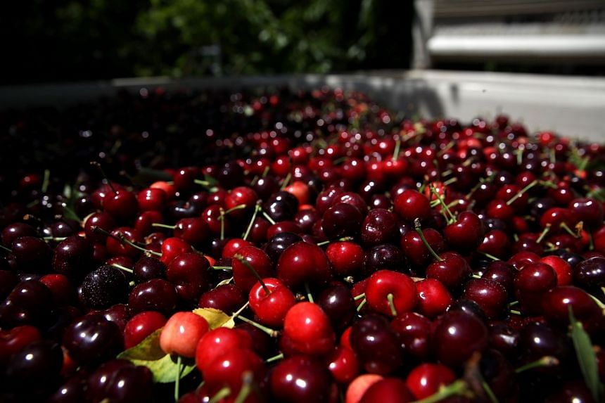 Cherries in California, US. Chinese consumers will be eating lower quality fruit when China imposes a 25-per cent border tax on hundreds of American goods, after July 6, 2018.