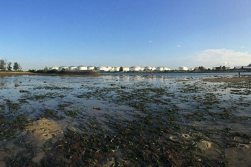 Although seagrass covers less than 0.2 per cent of the world's oceans, these meadows of marine flowering plants - such as the one at Pulau Hantu (above) - provide nursing and foraging grounds for invertebrates and fish that support fisheries around t