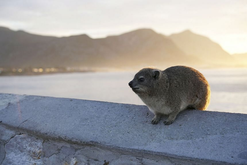 A rock hyrax in South Africa. Though the rock hyrax does not have descending testicles, it does have the two inactive genes that are specifically associated with testicular descent.