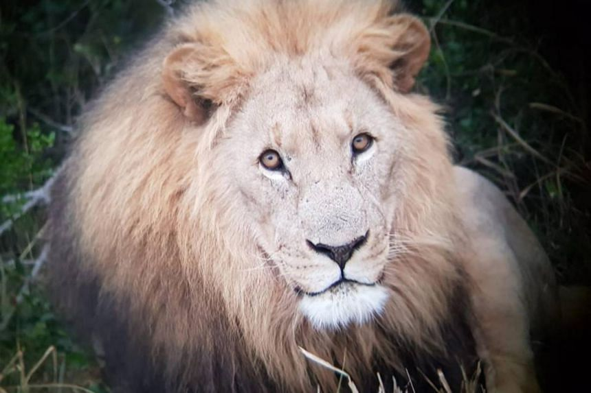 The handler heard a loud commotion coming from the lions but was not concerned as it is common to hear the lions at night.