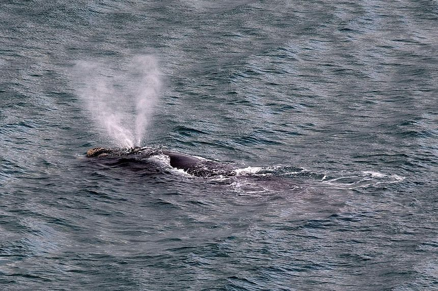 A rare visiting whale in Wellington Harbour has won hearts in the New Zealand capital but forced officials to cancel the city's annual fireworks display. The southern right whale appeared in the harbour on Wednesday and has delighted onlookers as it