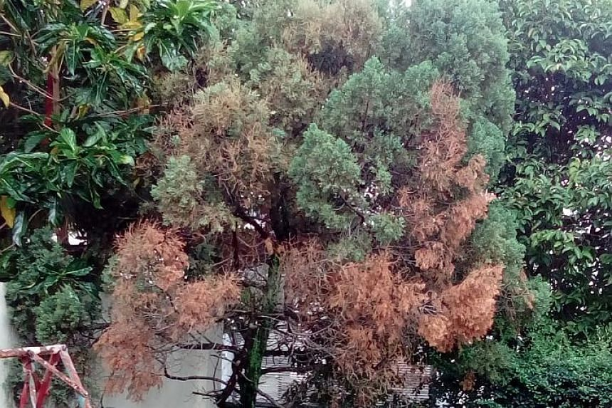 The tree is likely the Chinese juniper (Juniperus chinensis).