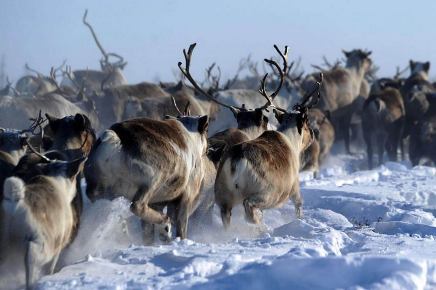 A herd of reindeer on a snow-covered field in the northern Russia, on March 8, 2018. As temperatures increase, melting snow re-freezes into a blanket of ice on lichen pastures that the reindeer cannot nuzzle through.