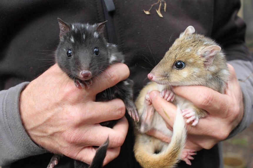 Eastern quolls - a furry carnivore that grows to about the size of a domestic cat - disappeared from the Australian mainland in the 1960s but clung on in the island state of Tasmania.