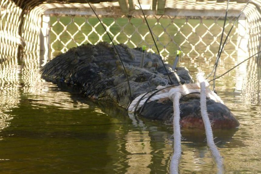 """The """"monster"""" saltwater crocodile in a trap. It was caught after an eight-year hunt in the Northern Territory town of Katherine on July 9, 2018."""