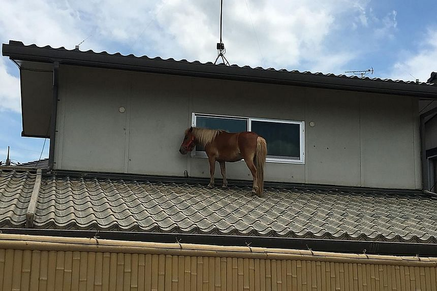 Leaf, a pet at an eldercare home, standing forlornly on a rooftop in Kurashiki before she was rescued.