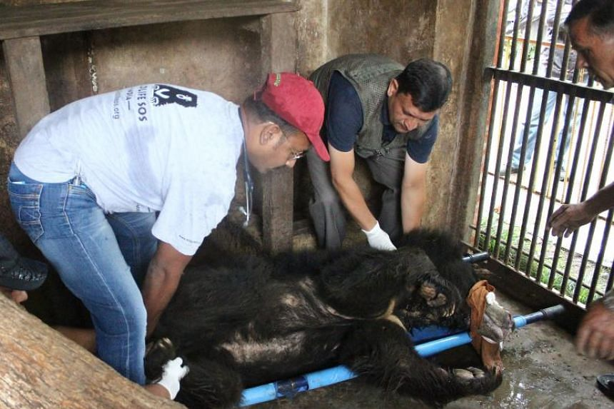 Wildlife officials preparing Rangila, Nepal's last known dancing bear, at a zoo near Kathmandu, to be transported to a sanctuary for rescued bears in India on July 10, 2018.