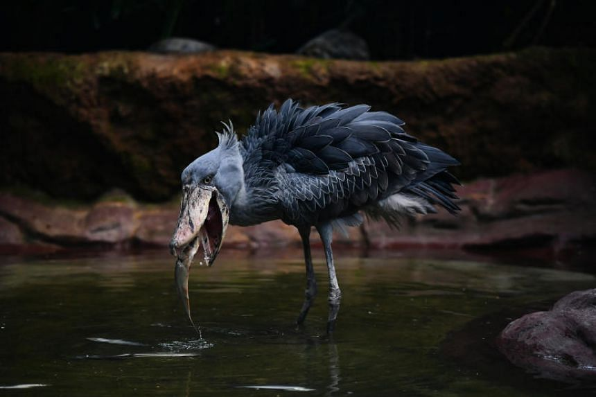 Shoebills are named for their large shoe-shaped bill, which also gives them their iconic appearance.