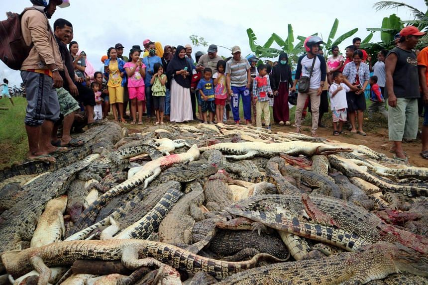 Local residents looking at the carcasses of hundreds of crocodiles from a farm on July 14, 2018, after the animals were killed by angry locals following the death of a man in a crocodile attack in West Papua, Indonesia.