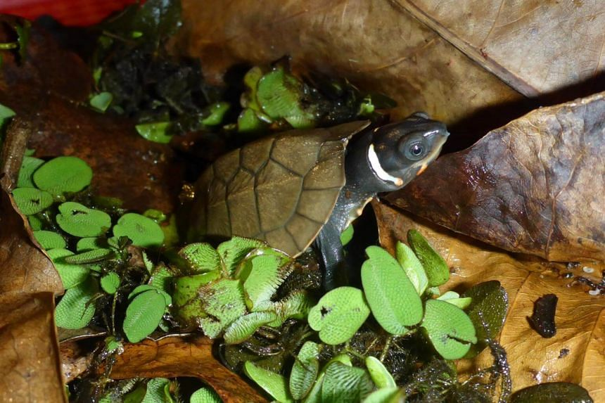 Katala Foundation Inc and Wildlife Reserves Singapore announced the first hatching of the critically endangered Palawan forest turtle under human care from parents that had been living for years at their assurance colony facilities in Palawan.