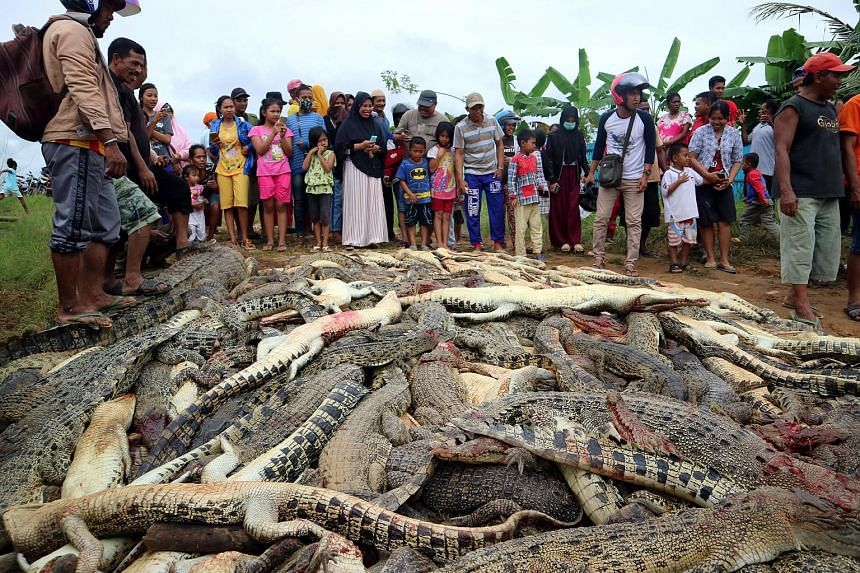 Angry residents in the Indonesian province of West Papua slaughtered hundreds of crocodiles at a farm last Saturday following the death of a man attacked by one of the reptiles earlier. The man had entered an enclosure at the crocodile farm while loo