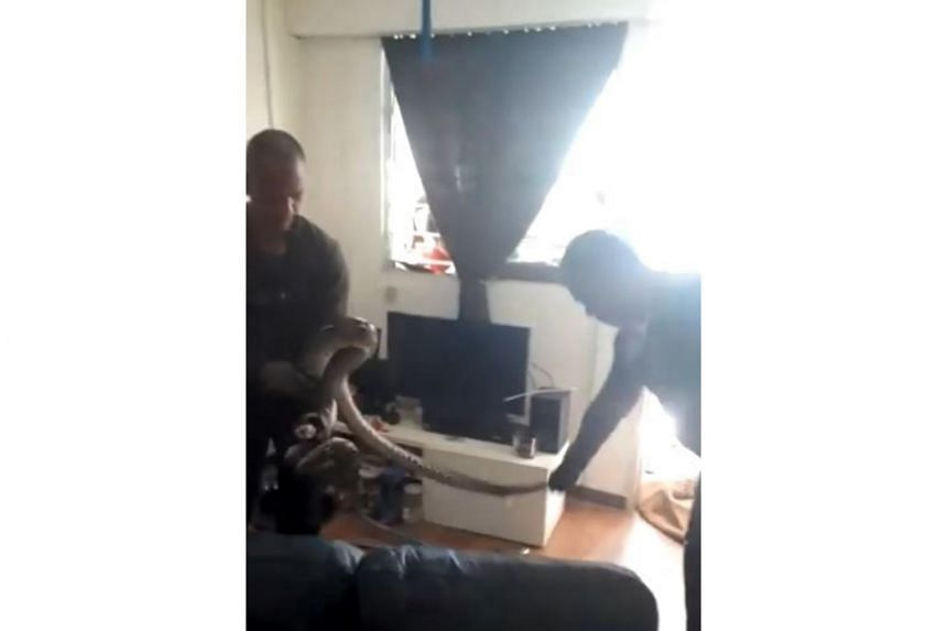 A video circulated around on Facebook from Sunday had shown two men attempting to trap the snake in the living room of a flat.