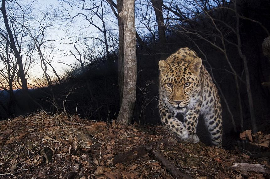 Scientists estimate that there are only 84 highly endangered Amur leopards remaining in the wild across their current range in Russia and China. This new figure was reported in the journal Conservation Letters by scientists from China, Russia and the