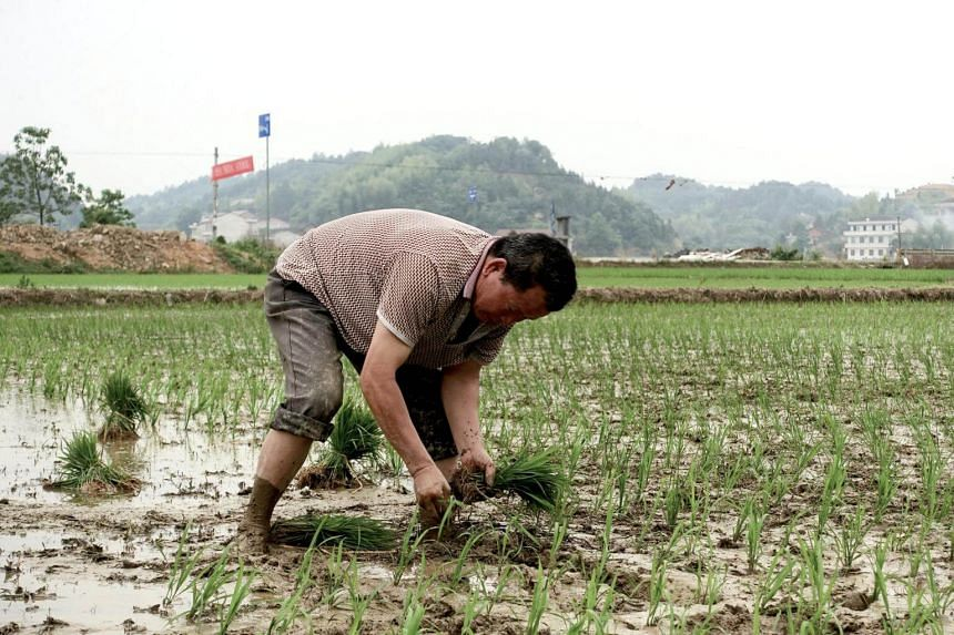 A farmer plants seedlings at a field in Dongfeng village, Hunan province, China, on May 9, 2018.