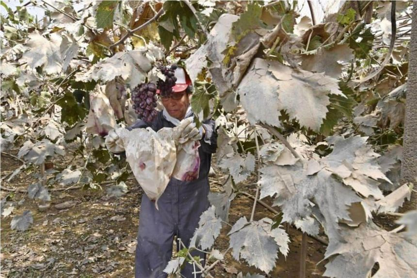 The Japan government has started to earnestly address the damage by offering support to agricultural enterprises, among other measures.
