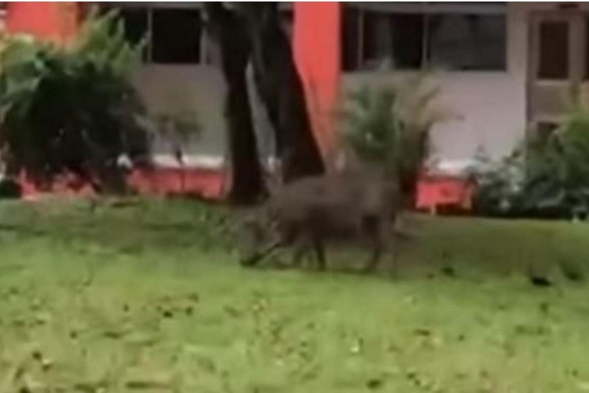 In a video uploaded on July 19, 2018, to Facebook page Fabrications About The PAP, the boar was seen sniffing around a grass patch in front of Block 562 in Choa Chu Kang.