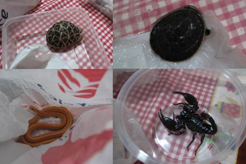 Muhammad Effendi Roslan, 27, was fined $6,000 for the possession of (clockwise from top left) an Indian star tortoise, one red-bellied short-necked turtle, one scorpion and two corn snakes.