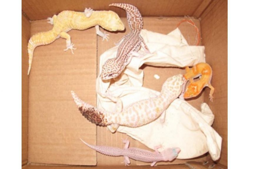Lawrence Wee Soon Chye, 52, was fined $5,000 for illegally importing five leopard geckos into Singapore.