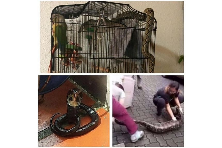 Snakes that have been sighted around urban areas in Singapore.